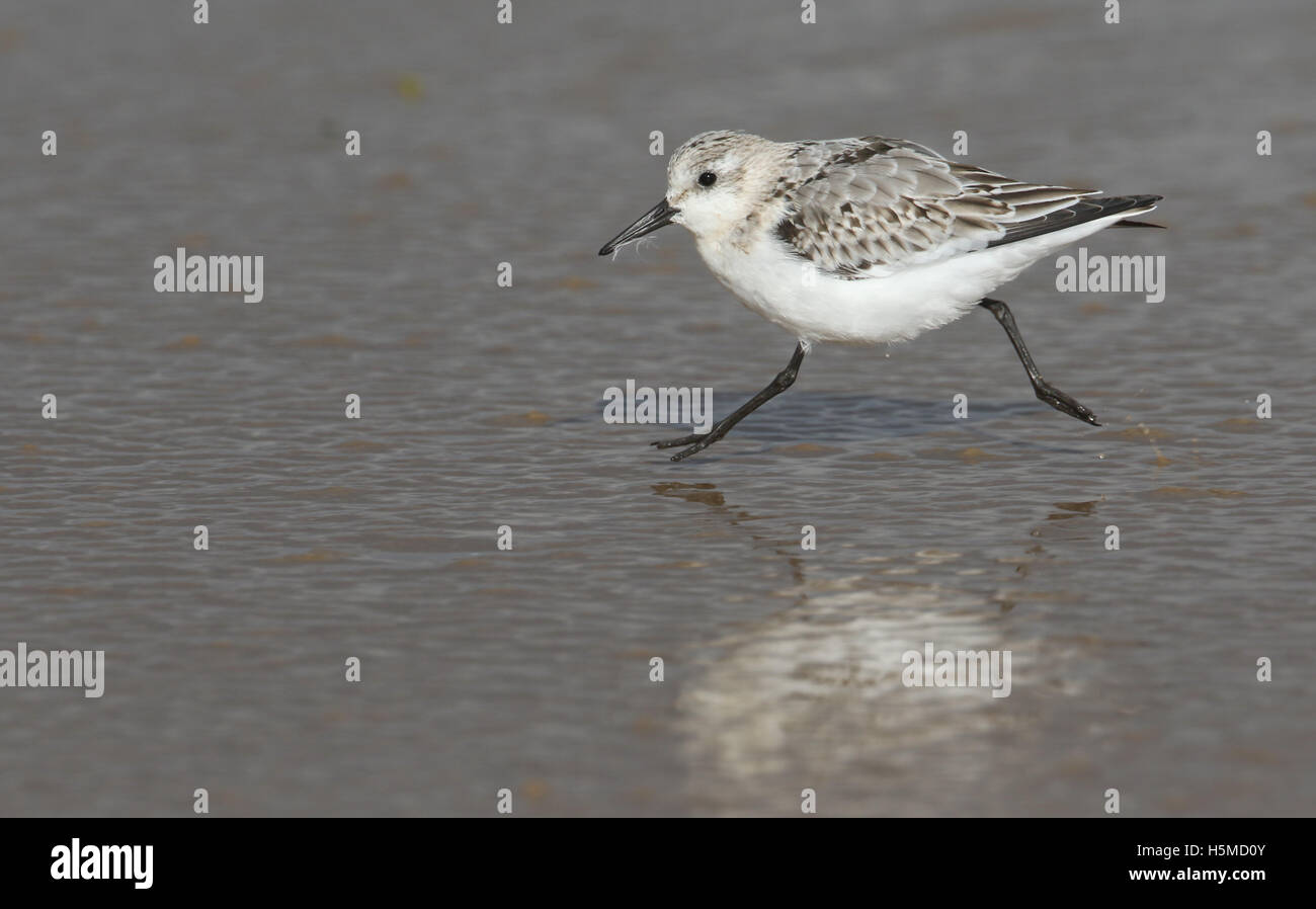 Sanderling (Calidris alba) running on a beach, on the rising tide looking for food. - Stock Image