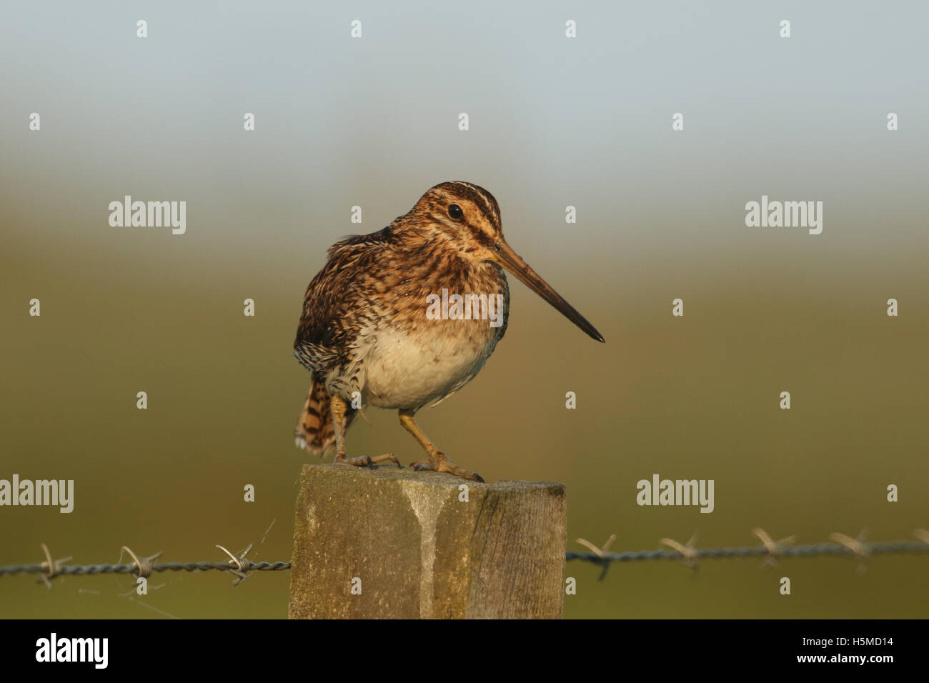 A Snipe (Gallinago gallinago) perched on a post early morning. - Stock Image