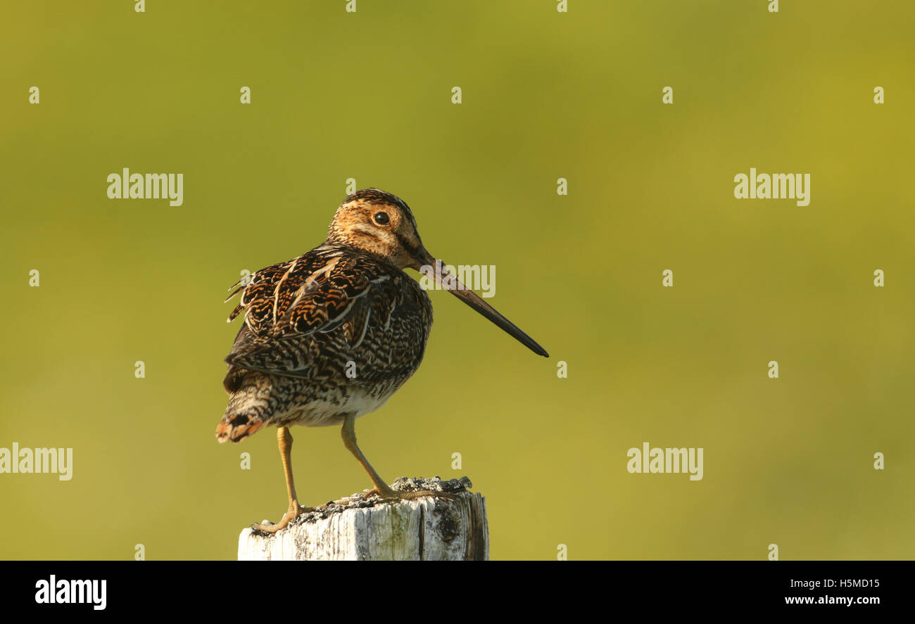 A Snipe (Gallinago gallinago) perched on a post in the evening. - Stock Image
