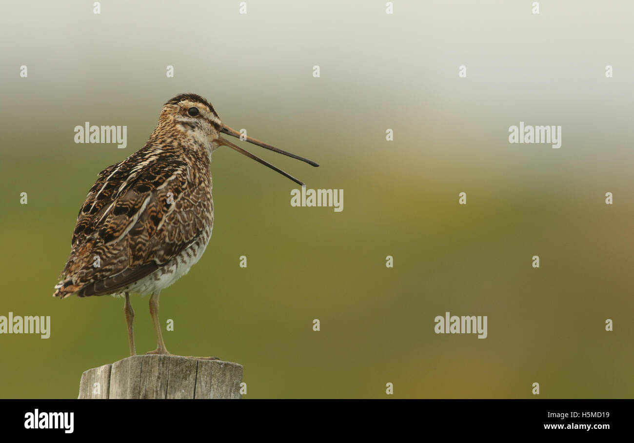 A Snipe (Gallinago gallinago) perched on a post calling. - Stock Image