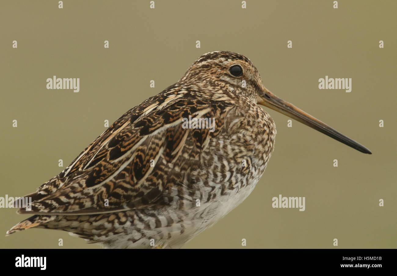 A Snipe (Gallinago gallinago) Portrait. - Stock Image