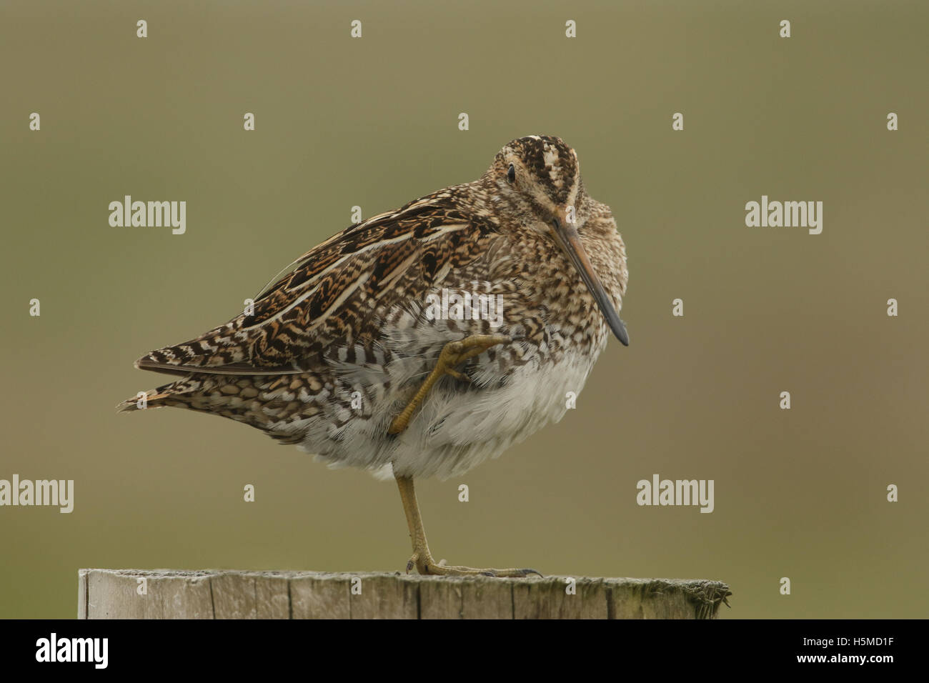 A Snipe (Gallinago gallinago)  perched on a post resting. - Stock Image