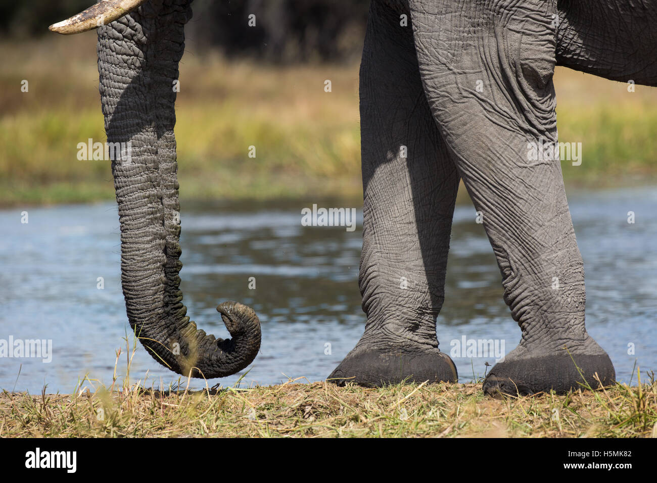 Closeup of the forelegs, feet and trunk of an elephant (Loxodonta africana) bull Stock Photo