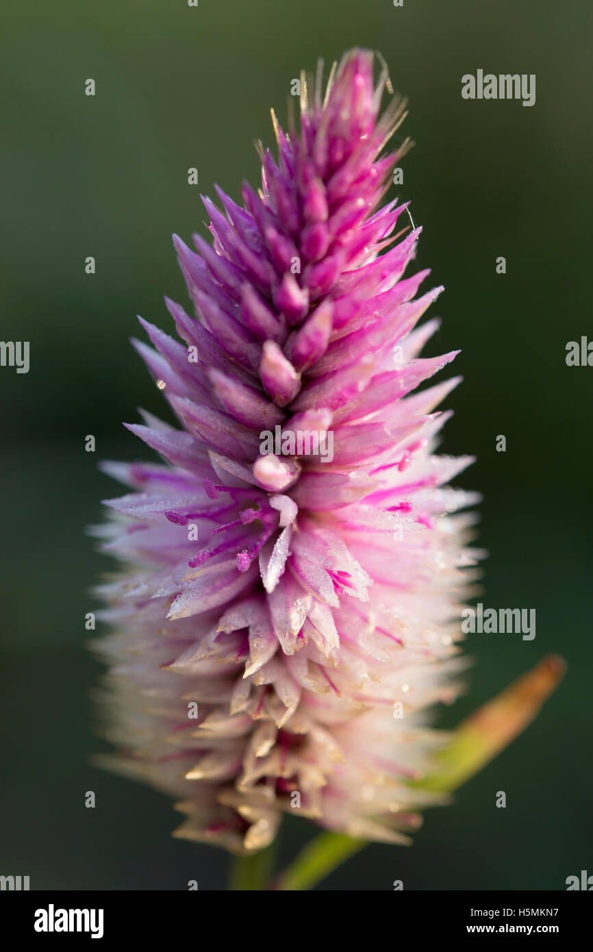 magenta flower blooming closeup - Stock Image