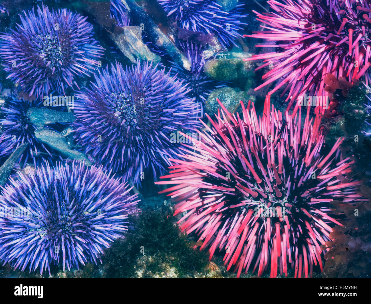 Red and purple sea urchins at extreme minus tide. Yaquina Head Outstanding Natural Area, Oregon - Stock Image