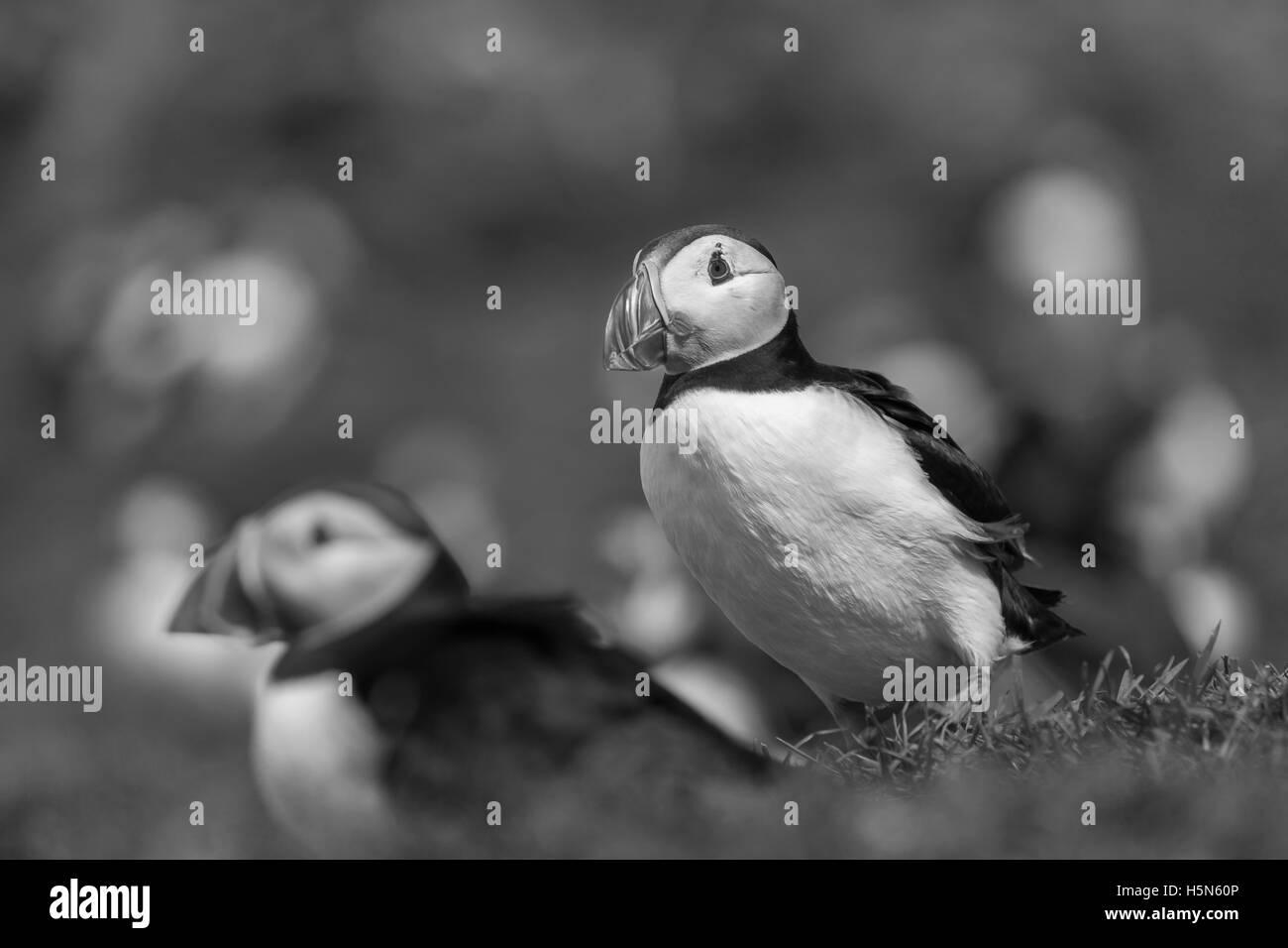Puffins in grass on Treshnish Isles, Scotland - Stock Image