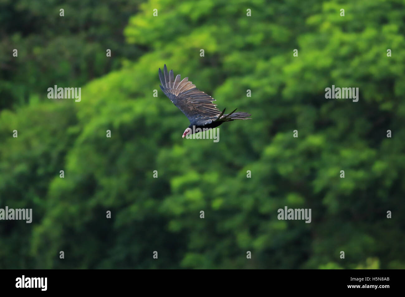 Turkey Vulture (Cathartes aura) flying over rainforest canopy in Tortuguero National Park, Costa Rica. - Stock Image