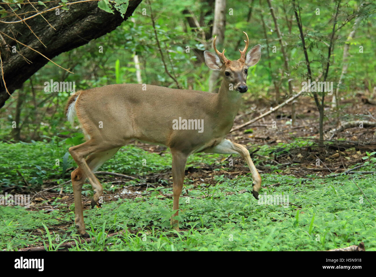Male White-tailed deer (Odocoileus virginianus) on alert. Tropical dry forest, Santa Rosa National Park, Guanacaste, - Stock Image