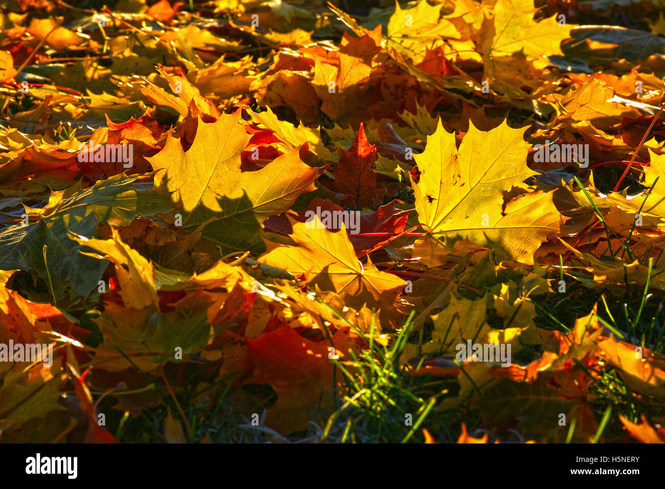 Fallen yellow maple leaves on a frosty morning on the grass. - Stock Image