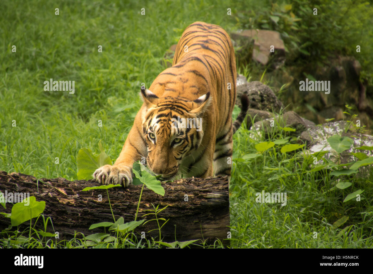 Bengal tiger rests his paw on a fallen tree trunk at a tiger reserve in India Stock Photo