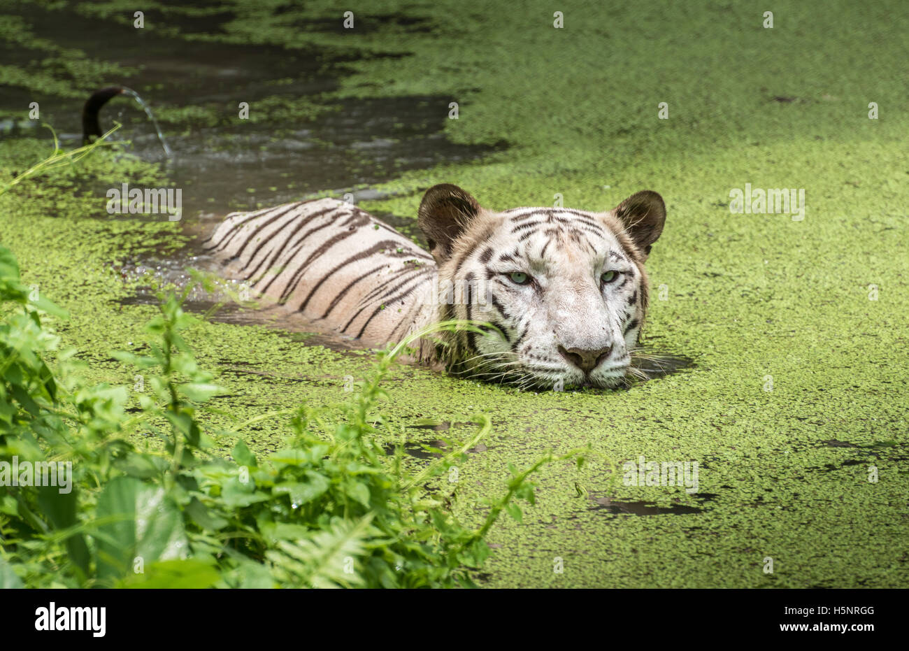 White tiger swims in the water of a marshy swamp. White Bengal tigers are considered as endangered. Stock Photo