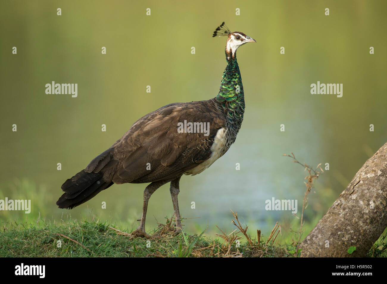 Indian peafowl, Pavo cristatus, Yala National Park, Sri Lanka - Stock Image