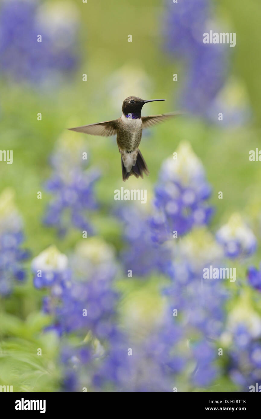 Black-chinned Hummingbird (Archilochus alexandri), adult male flying among blooming Texas Bluebonnet (Lupinus texensis), - Stock Image