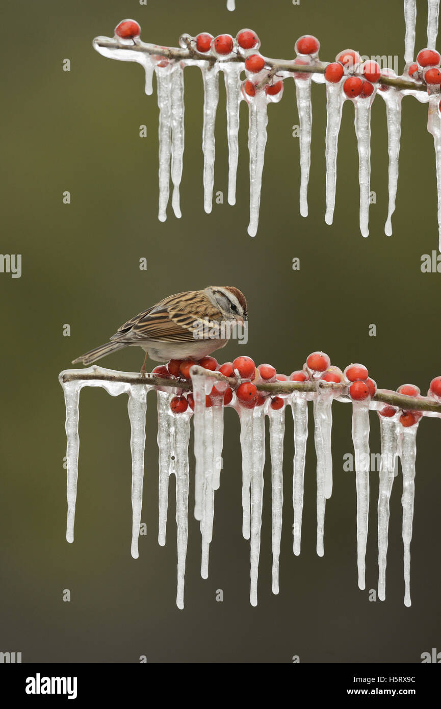 Chipping Sparrow (Spizella passerina), adult perched on icy branch of Possum Haw Holly (Ilex decidua) with berries, - Stock Image
