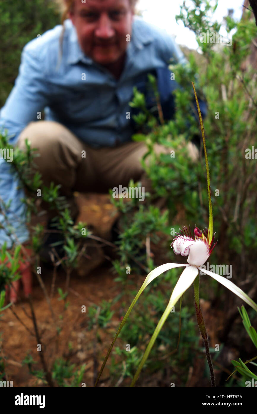 Bushwalker looking at Common white spider orchid (Caladenia longicauda), Serpentine National Park, Perth, Western Stock Photo