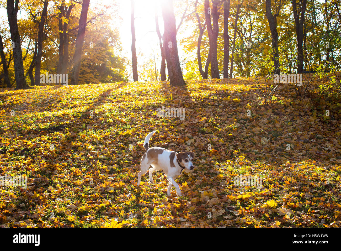 A dog is running in the forest and the light of the sun between the autumn colors of the trees. - Stock Image