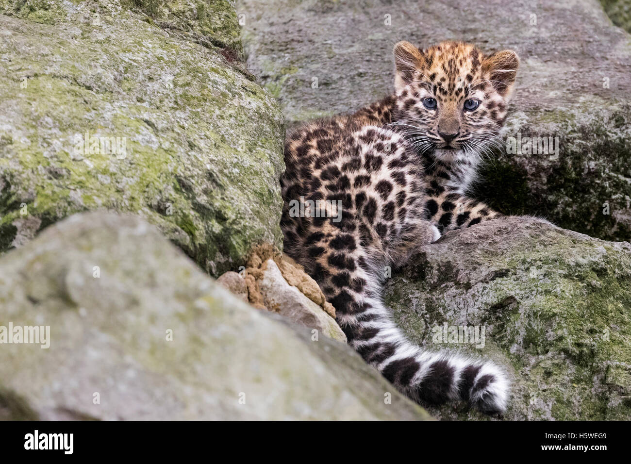 Amur leopard cub - Stock Image