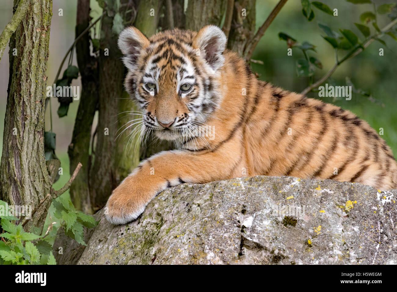 Persian leopard cub - Stock Image
