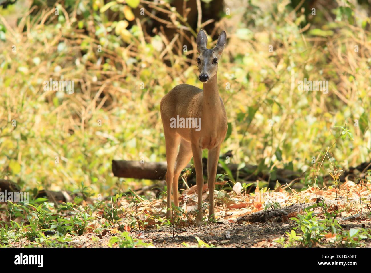 Female White-tailed deer (Odocoileus virginianus). Tropical dry forest, Palo Verde National Park, Guanacaste, Costa - Stock Image