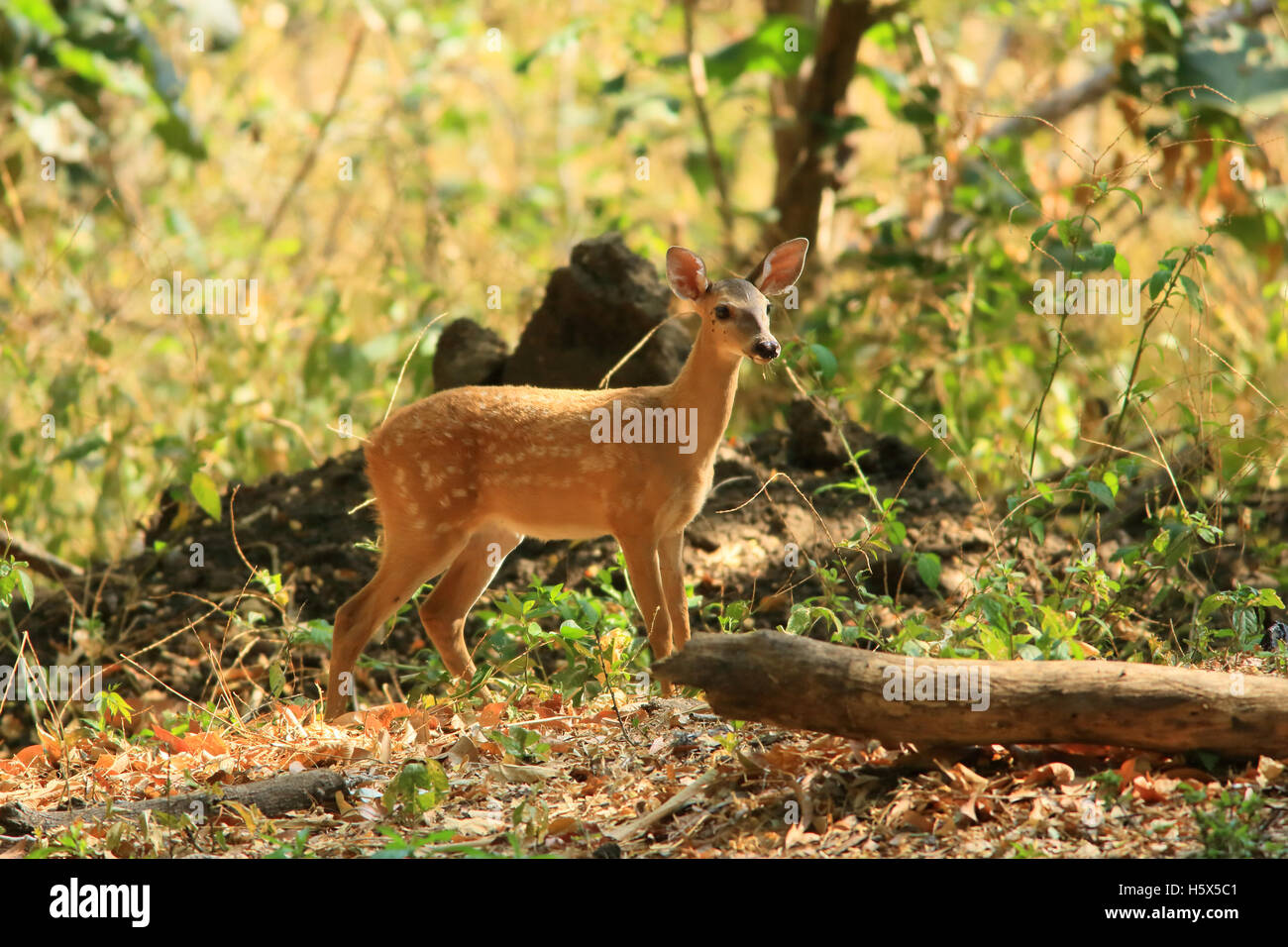 White-tailed deer fawn (Odocoileus virginianus). Tropical dry forest, Palo Verde National Park, Guanacaste, Costa - Stock Image