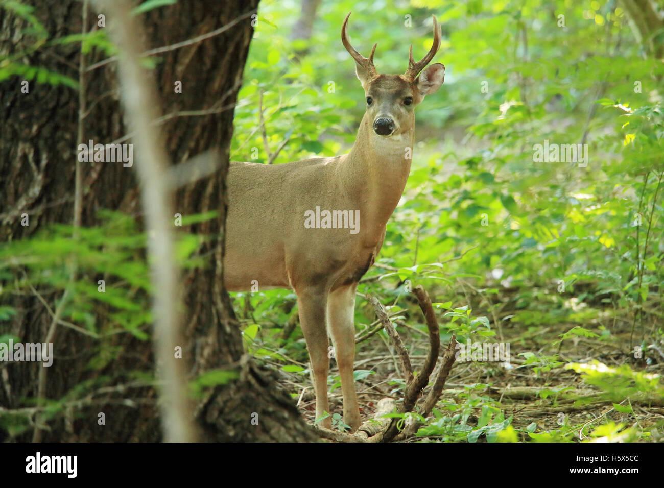 Male White-tailed deer (Odocoileus virginianus). Tropical dry forest, Santa Rosa National Park, Guanacaste, Costa Rica. Stock Photo