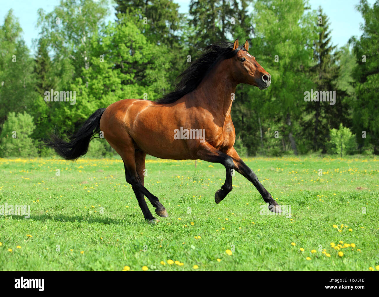 Beautiful sorrel horse walks in farm pasture - Stock Image