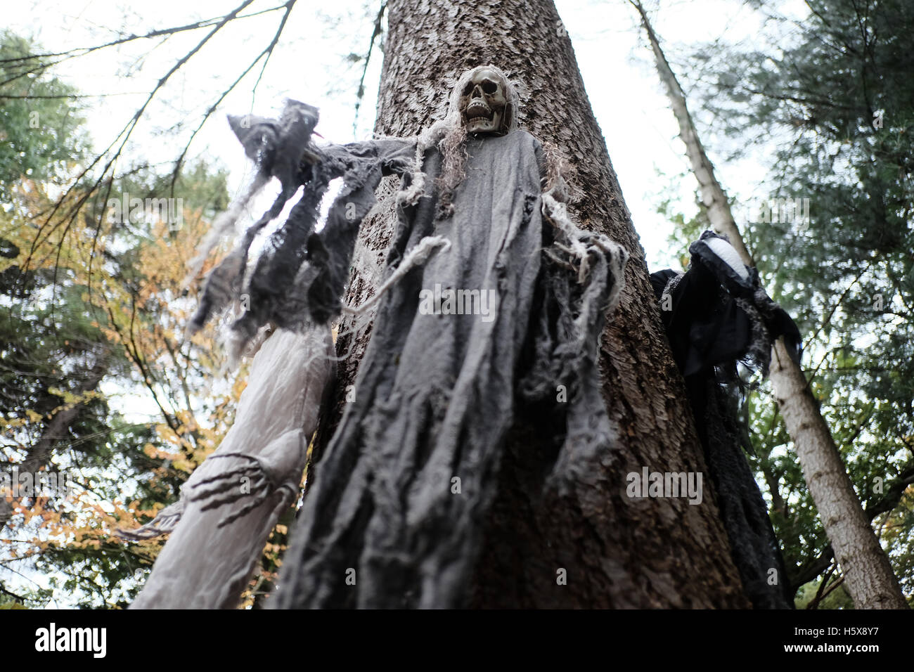 Scary Halloween skeleton draped in rags on a tree in a wood - Stock Image