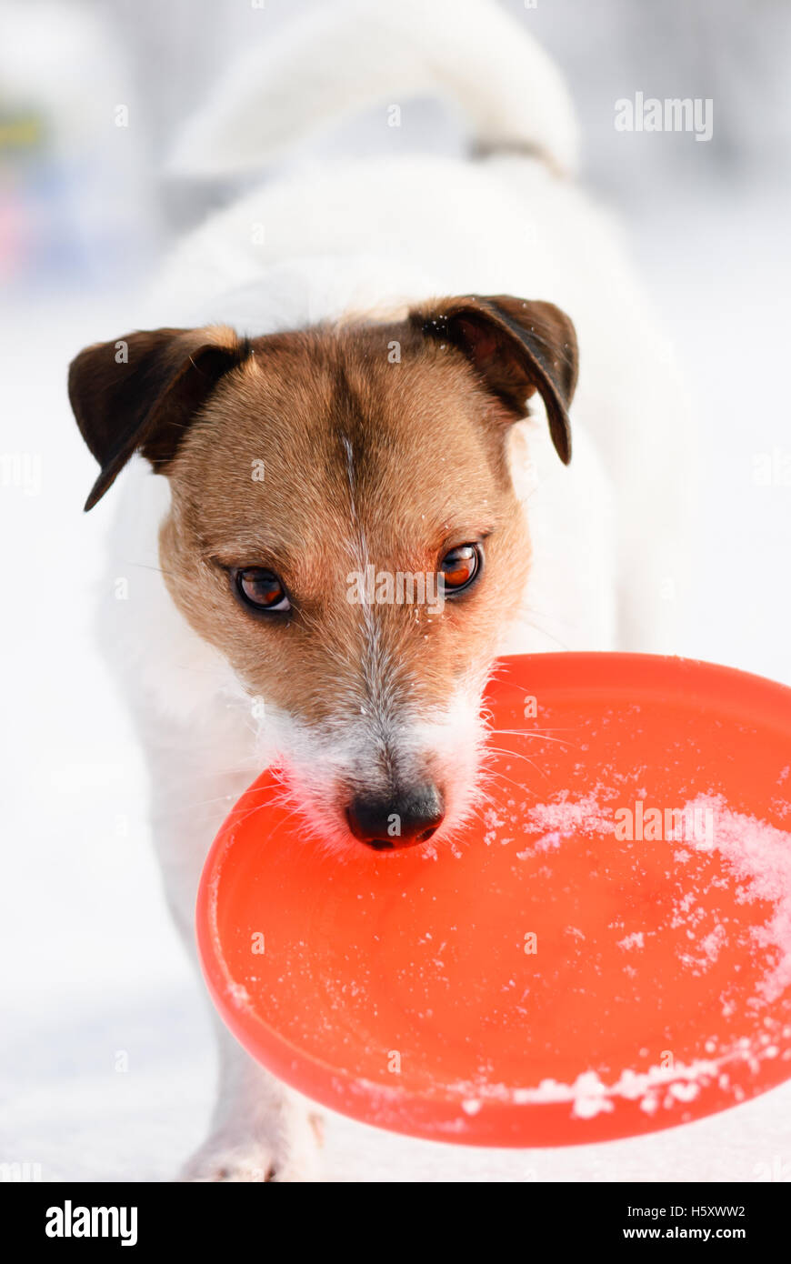 Dog with red toy inviting to play a fun game - Stock Image