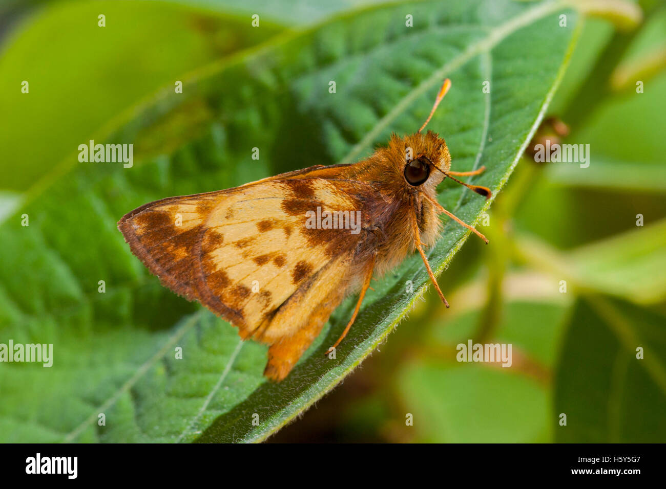 Zabulon Skipper  Poanes zabulon  Roaring River State Park, Barry County, Missouri, USA 16 May     Adult Male    Stock Photo