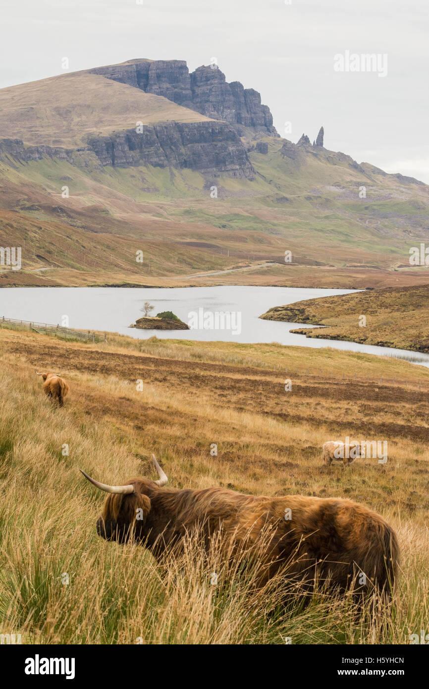 Isle of Skye, Scottish Highlands - 22 October 2016: UK weather: highland cattle below the Old Man of Storr - an - Stock Image