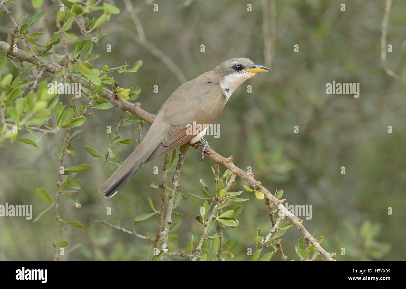 Yellow-billed Cuckoo (Coccyzus americanus), adult perched, Rio Grande Valley, South Texas, Texas, USA - Stock Image