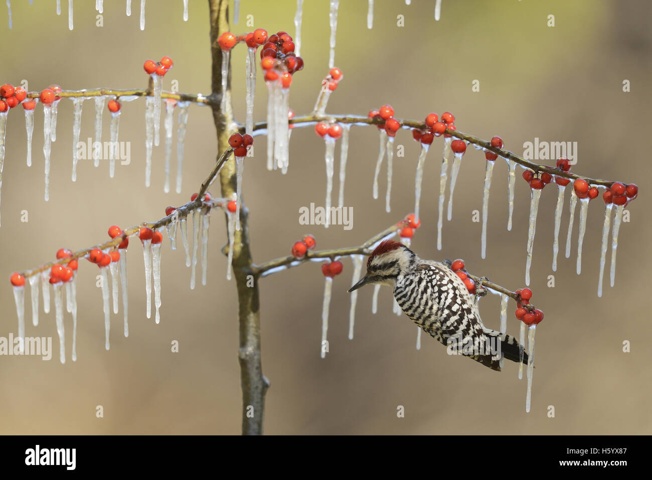 Ladder-backed Woodpecker (Picoides scalaris), adult male perched on icy branch of Possum Haw Holly (Ilex decidua) - Stock Image