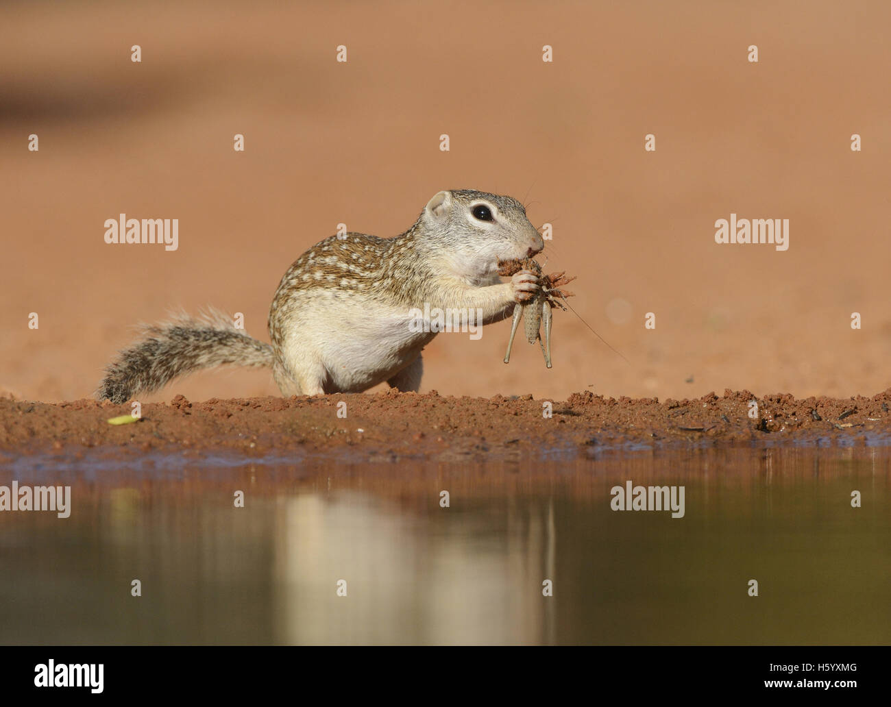 Mexican Ground Squirrel (Spermophilus mexicanus), adult eating grasshopper, South Texas, USA - Stock Image