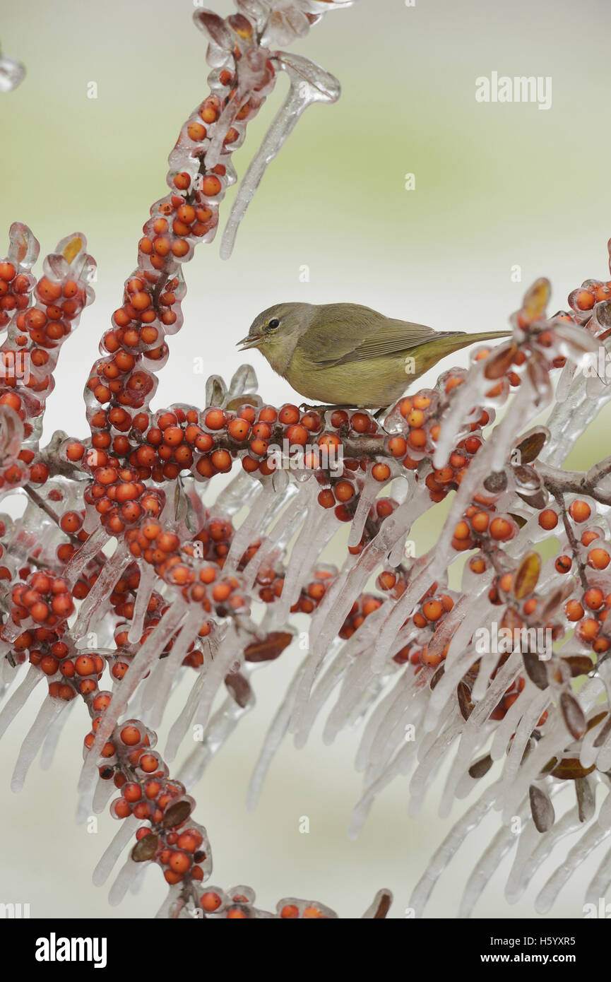 Orange-crowned Warbler (Vermivora celata), adult perched on icy branch of Yaupon Holly (Ilex vomitoria) with berries, - Stock Image