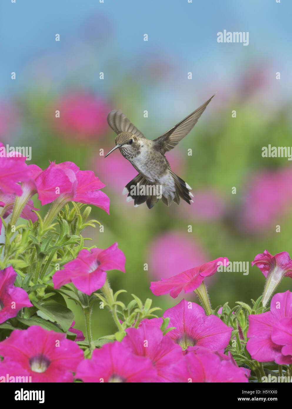 Ruby-throated Hummingbird (Archilochus colubris), young male in flight feeding on Petunia  flowers, Hill Country, Stock Photo