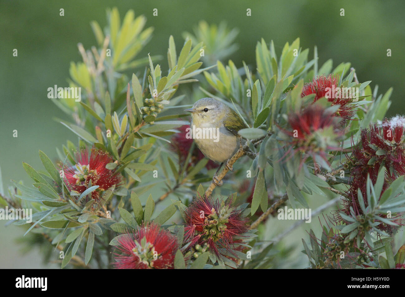 Tennessee Warbler (Vermivora peregrina), adult feeding on blooming Lemon bottlebrush, crimson bottlebrush, Texas - Stock Image