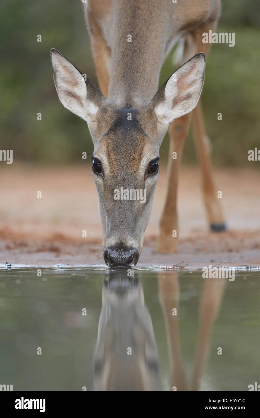 White-tailed Deer (Odocoileus virginianus), adult drinking, South Texas, USA - Stock Image