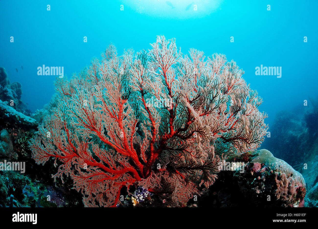 Coral reef with Sea Fan (Gorgonaria sp.), Komodo, Indo-Pacific, Indonesia, Southeast Asia Stock Photo
