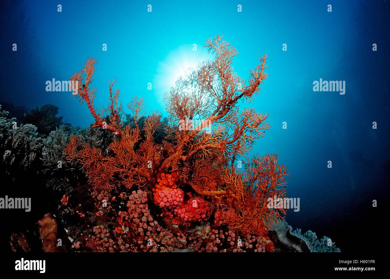 Coral reef with Sea Fan (Gorgonaria sp.), Komodo, Flores, Indonesia, Southeast Asia Stock Photo