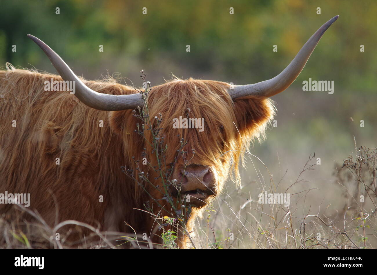 Highland cattle in autumn grass meadow Stock Photo