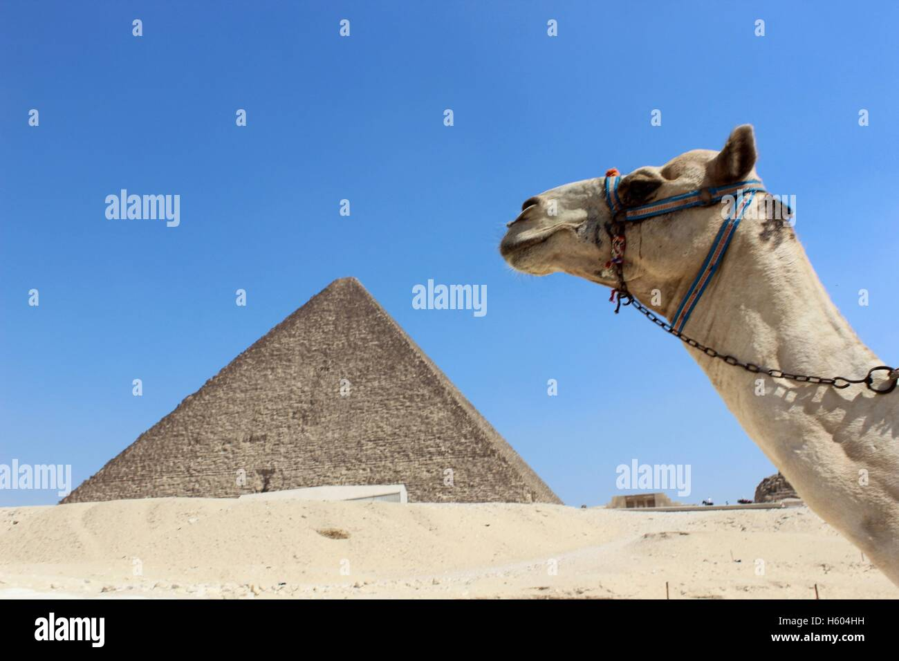 Camel At The Pyramids - Stock Image