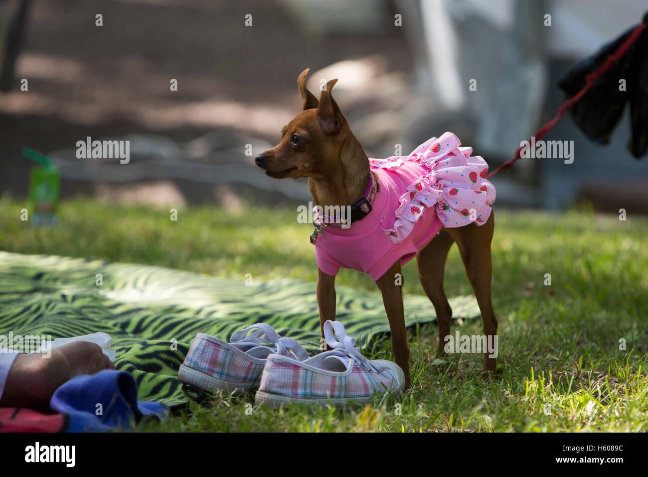 Small dog wearing a dress. - Stock Image