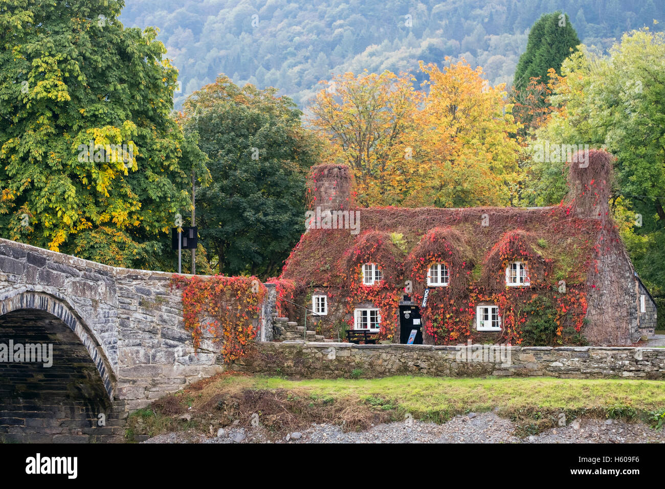 Tu Hwnt I'r Bont Tearooms in picturesque cottage with red Virginia Creeper by Pont Fawr bridge and Afon Conwy River Stock Photo