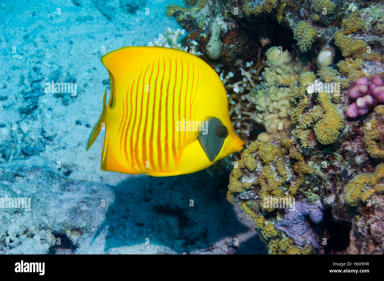 Golden butterflyfish [Chaetodon semilarvatus] on coral reef.  Egypt, Red Sea. - Stock Image