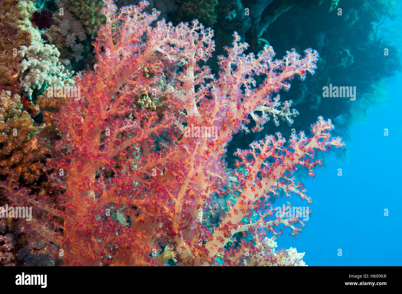 Soft coral (Dendronephthya sp).  Red Sea, Egypt. - Stock Image