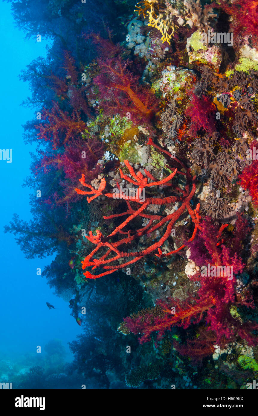 Red rope sponge [Amphimedon compressa] and soft corals [Dendronepthya sp.] on reef wall.  Egypt, Red Sea. - Stock Image