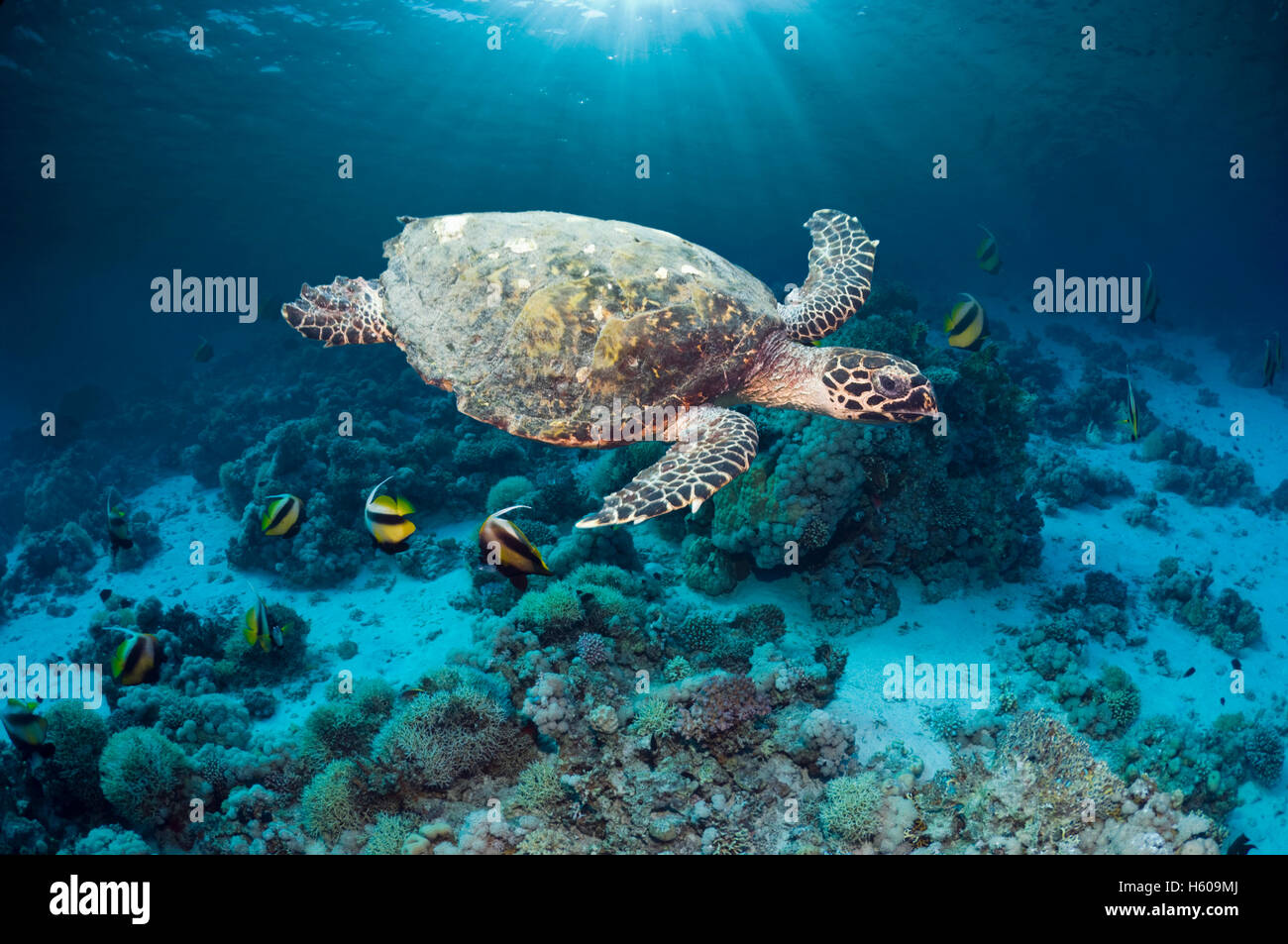 Hawksbill turtle (Eretmochelys imbricatta) swimming over coral reef with shafts of sunlight.  Egypt, Red Sea. - Stock Image