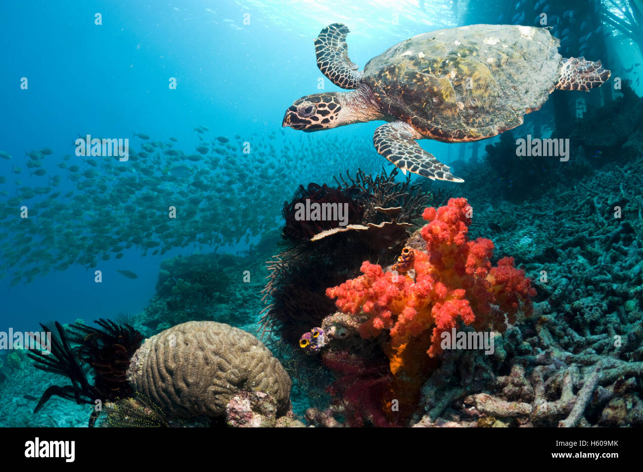 Hawksbill turtle (Eretmochelys imbricata) swimming over coral reef with soft coral.  Misool, West Papua, Raja Ampat, - Stock Image