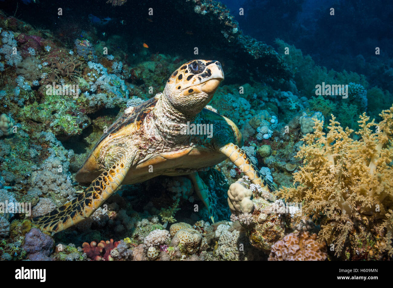 Hawksbill turtle (Eremochelys imbricata).  Egypt, Red Sea. - Stock Image