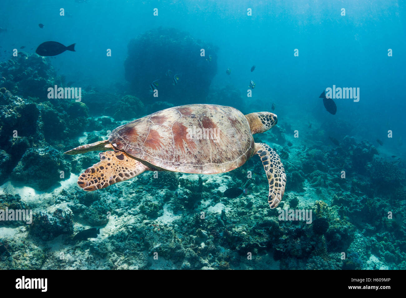 Green turtle [Chelonia mydas].  Similan Islands, Andaman Sea, Thailand. - Stock Image